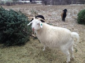 Christmas to Compost with a little Help from Our Goats