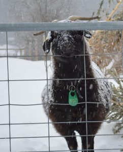 Hulse Hill Farm Winter Fiber Homesteading Tour